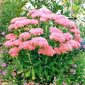 Sedum: How to Plant, Grow, and Care for Sedum Plants   The Old ...