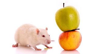 Kisah Sang Tikus