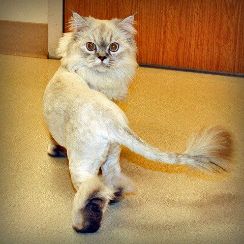 cat lion cut