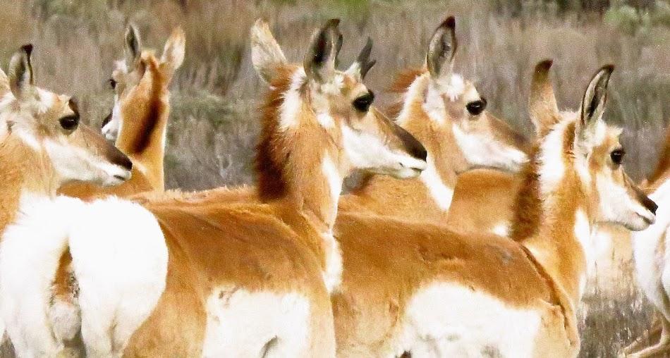 Pronghorn Antelope Girls