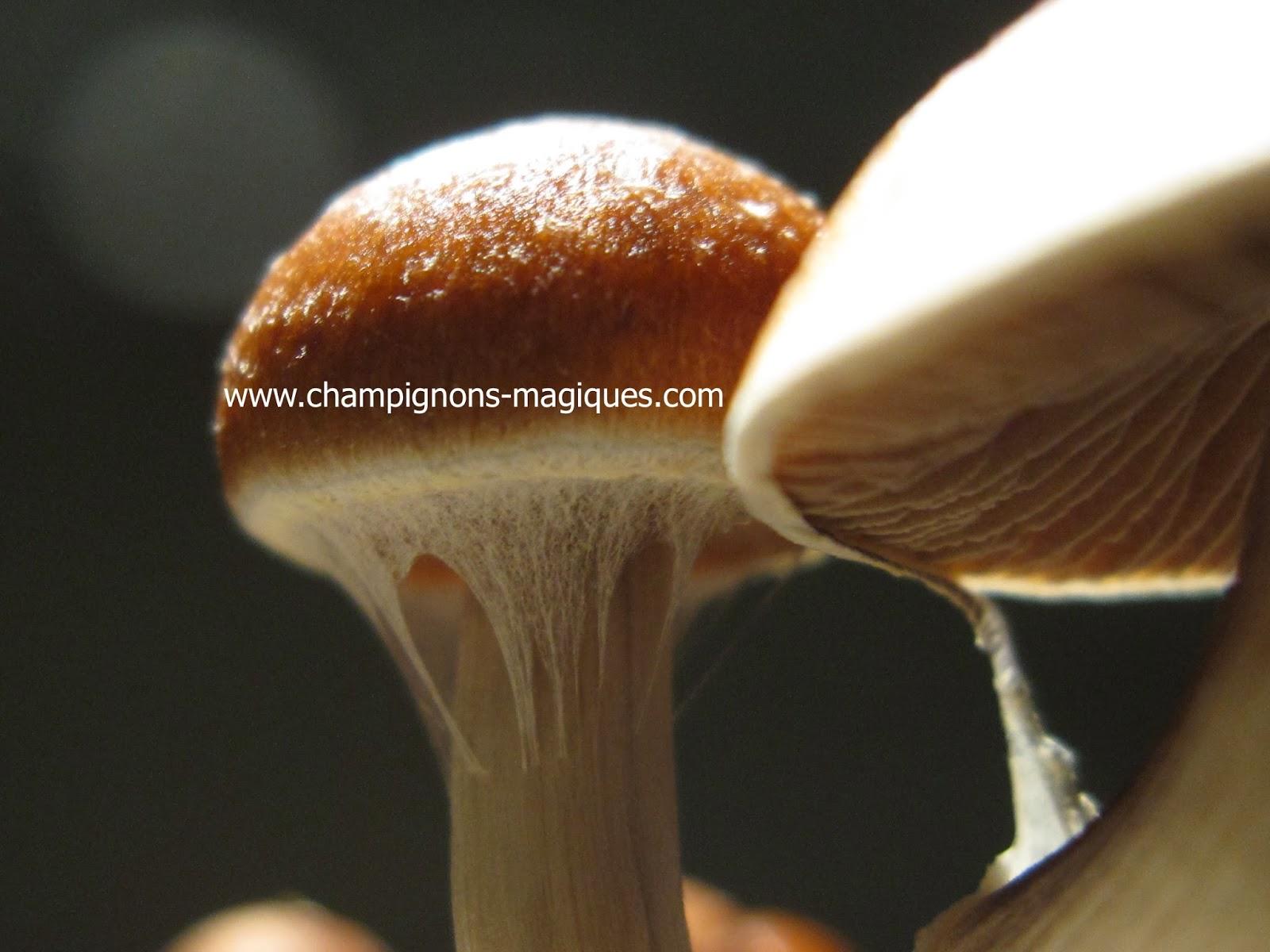 Faire pousser des champignons magiques Étape par Étape - 2014