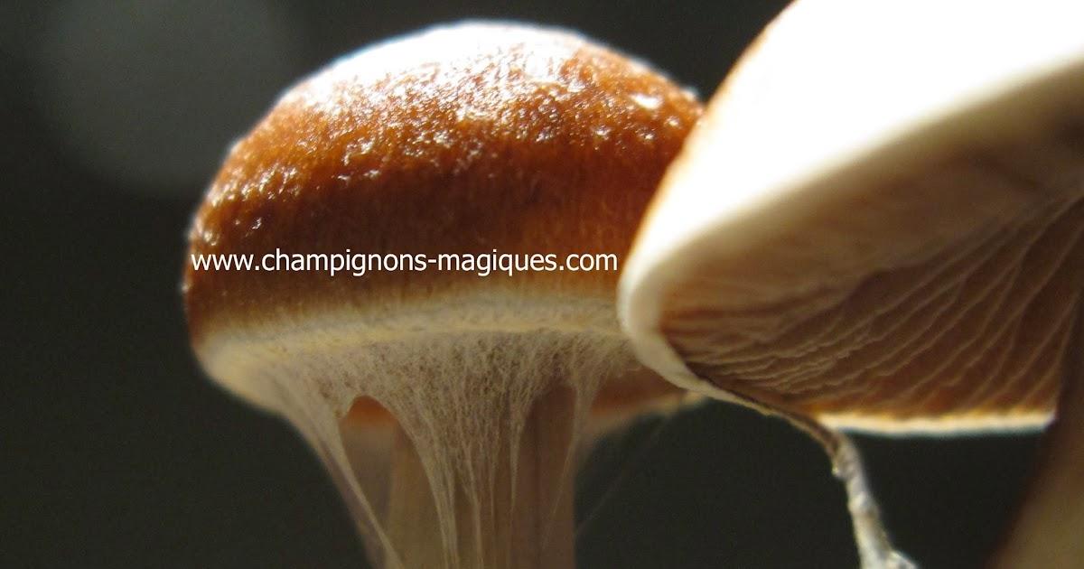 champignons magiques comment faire pousser des champignons magiques le b aba pour les d butants. Black Bedroom Furniture Sets. Home Design Ideas