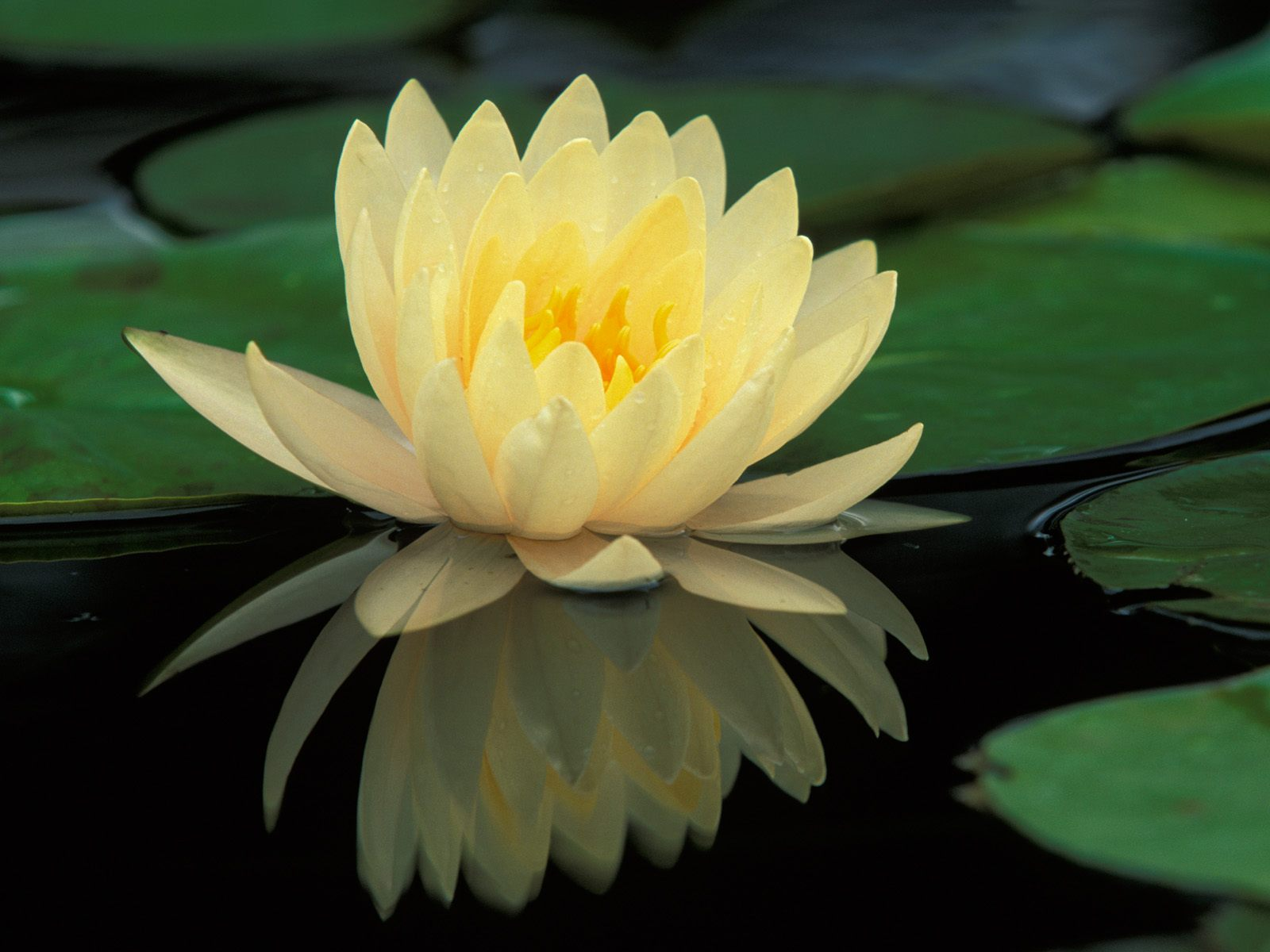 yellow water lily flower - photo #7