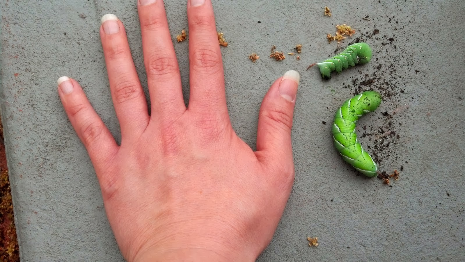 THESE Are Tomato Hornworms And They Get Even Bigger!