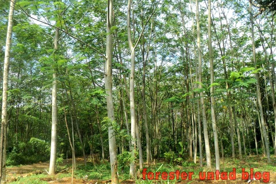 klasifikasi pohon sengon
