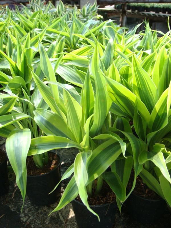 Feng shui and faith beliefs lucky bamboo plant indoor - Good luck plants feng shui ...
