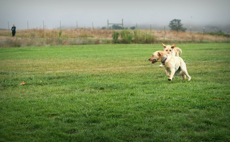 both labs still running, but duma is looking back to see her owner standing in the distance