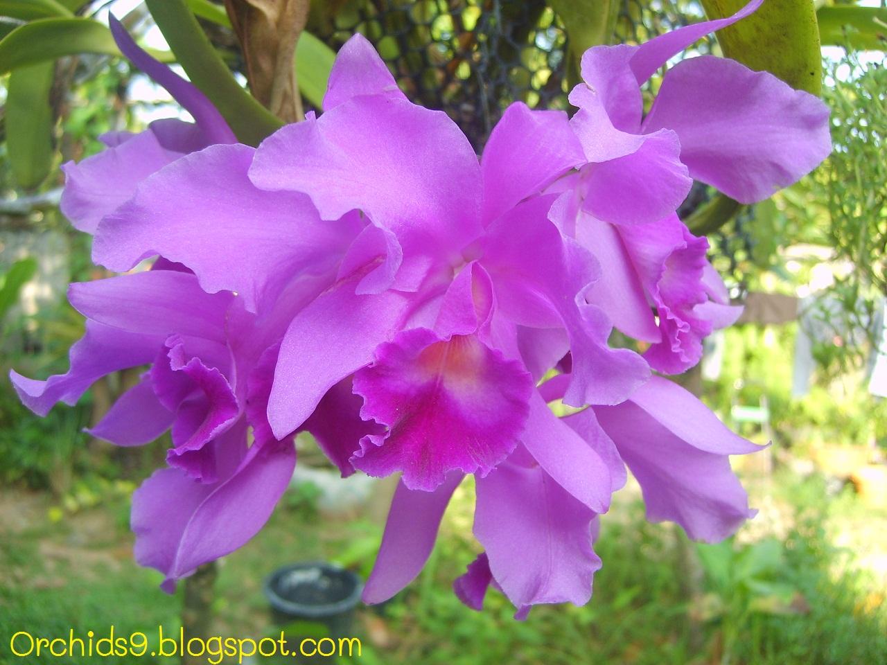 Orchids Flowers Bulbophyllum Vanda Cattleya Cymbidium Phalaenopsis D