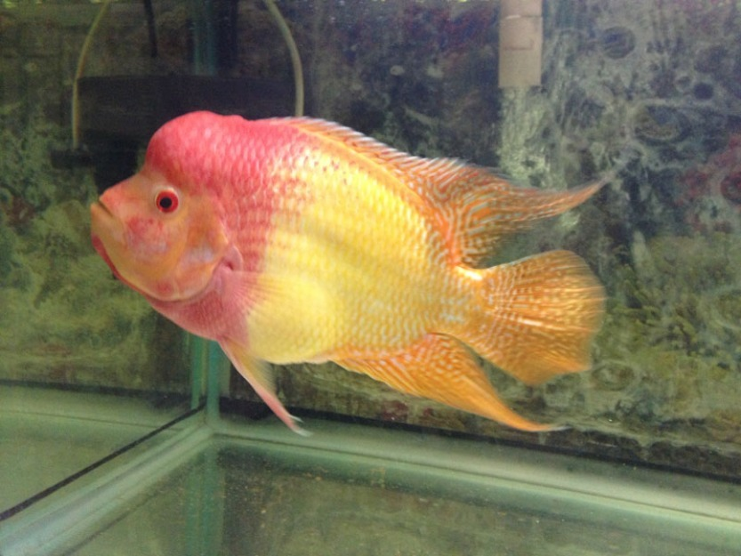 Golden trimac for Flower horn fish price