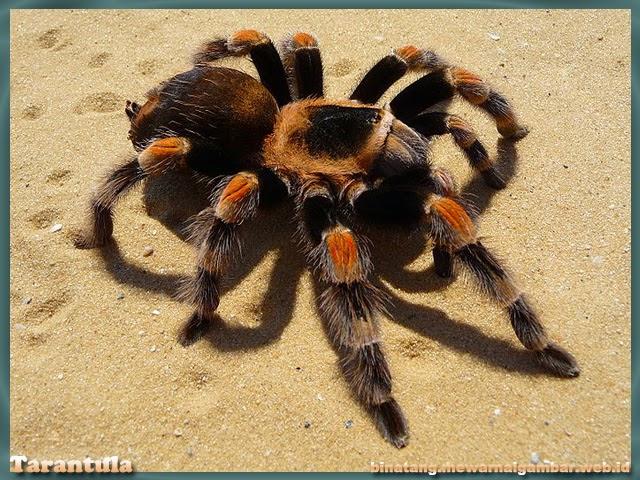 gambar tarantula