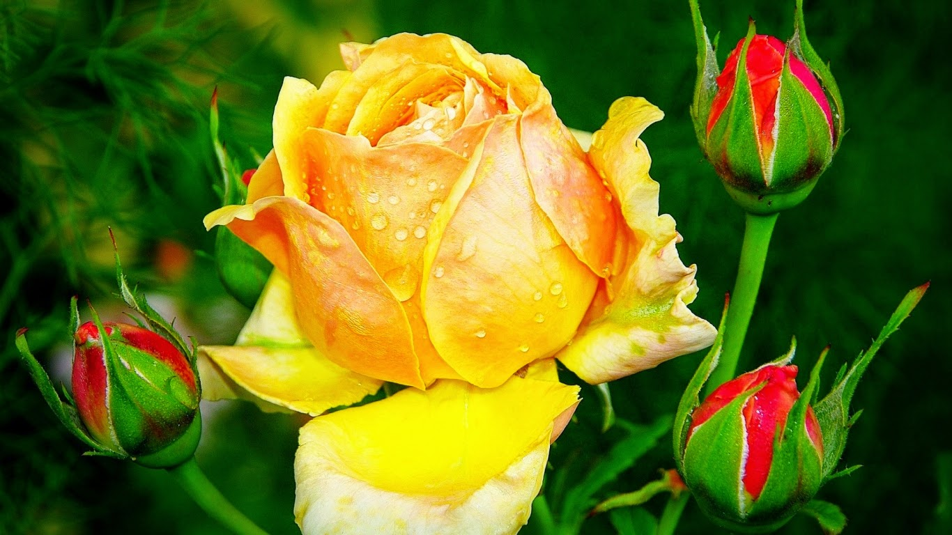 Photo Gallery yellow roses and butterflies