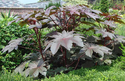 Ricinus communis 'Zanzibar', about 6 feet tall with huge jagged dark purple leaves