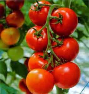 Khasiat Buah Tomat