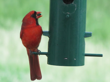 Male Cardinal Eating Black Oil Sunfower Seed