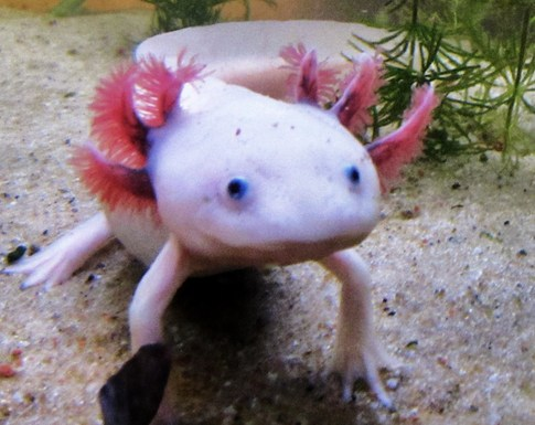 Axolotl salamander fun animals wiki videos pictures for Mexican walking fish