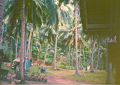 Thick grove of coconut palms, Koh Phangan 1993