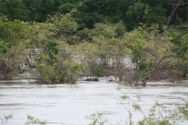 Avistamiento de hipopótamos en el río Gambia