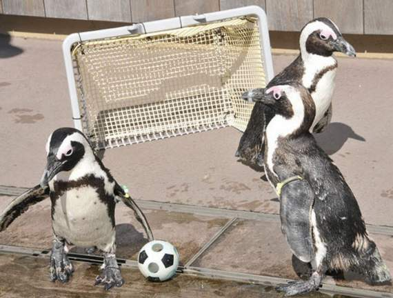 Funny animals playing soccer/football, funny animals, euro 2012, animals play football, animals play soccer