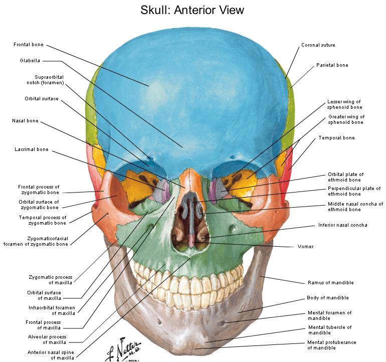 Complete Diagram Of The Skull - Block And Schematic Diagrams •