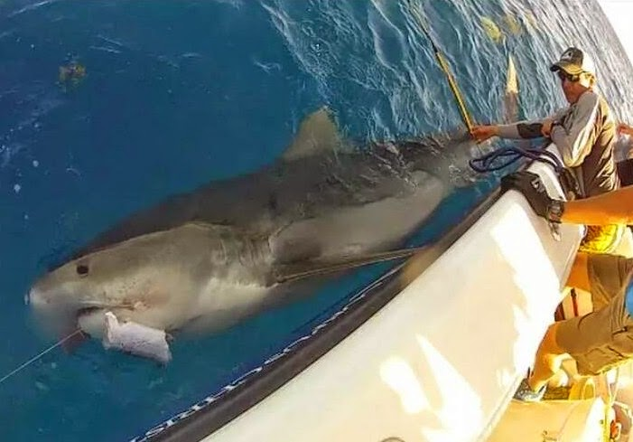 tiger florida texas  shark sharks video videos image images attack    Biggest Tiger Shark In The World