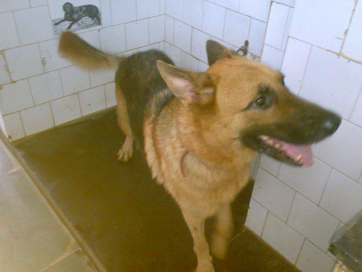 Great Dane Dog For Free Adoption In Mumbai
