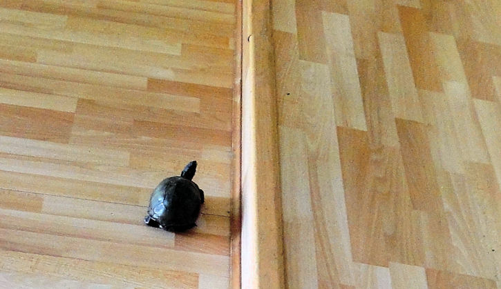 A Wild Turtle Trapped By The Sunken Living Room. We Let Him Go After Giving  Him A Pile Of Lettuce; A Very Interesting Guest Who Was Happy To Leave! Part 61