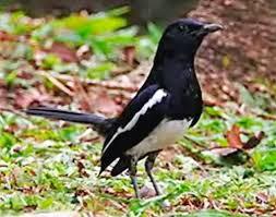 Foto Burung Kacer Harga 2015