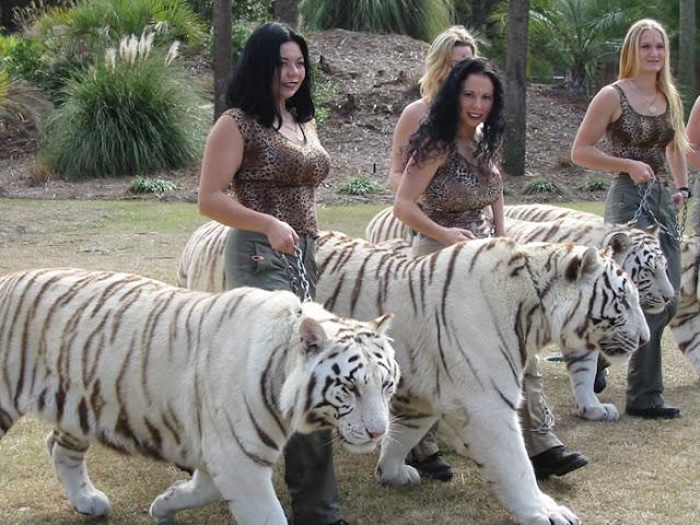 Funny White tiger
