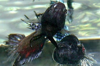 Gambar ikan Cupang lagi berantem