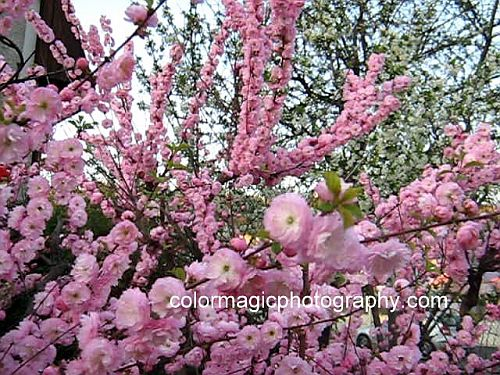 Flowering almond - Prunus triloba Multiplex