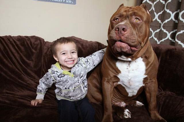 أشرس وأضخم وأوفى كلب بيتبول في العالم