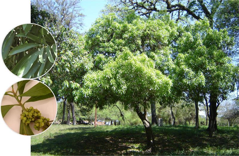 V e r d e c h a c o agosto 2016 for Arboles perennes en argentina