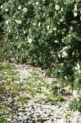 White rose snowfall - by Maja Trochimczyk
