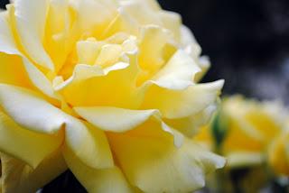 roseflower076