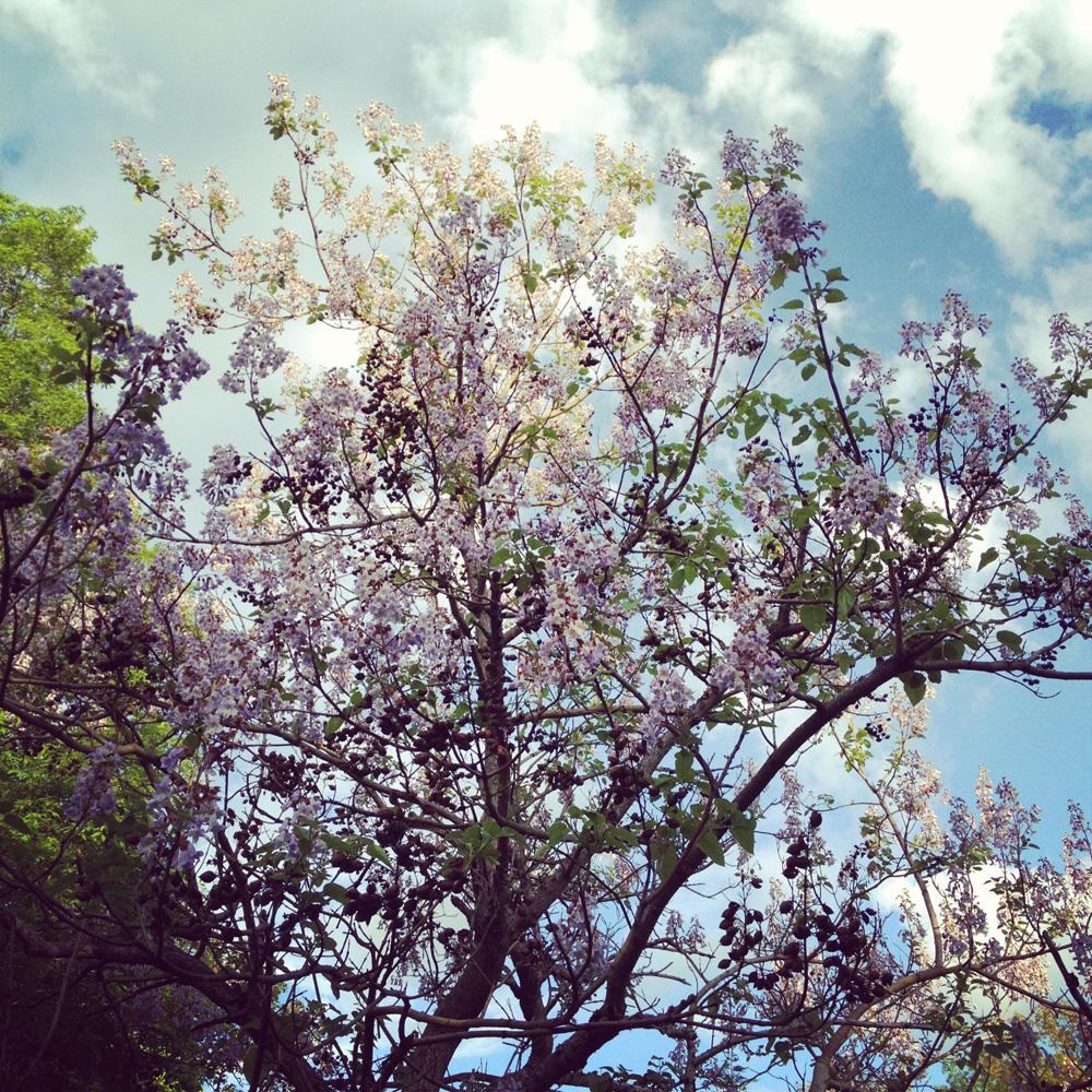 Halcyon Days: Cottonwood Trees