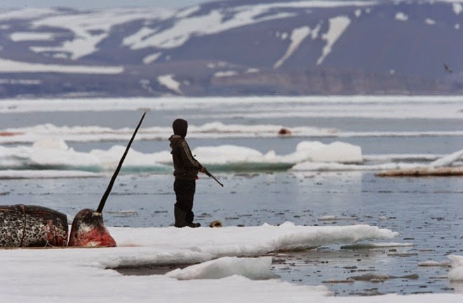 The narwhal hunt near Arctic ~ LOVE NATURE 24H
