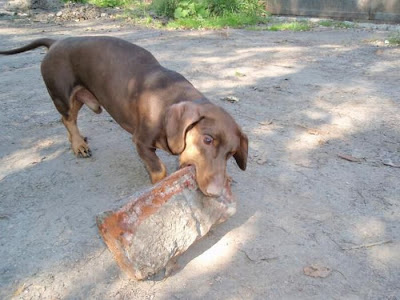 Strong Dachshund Seen On www.coolpicturegallery.us