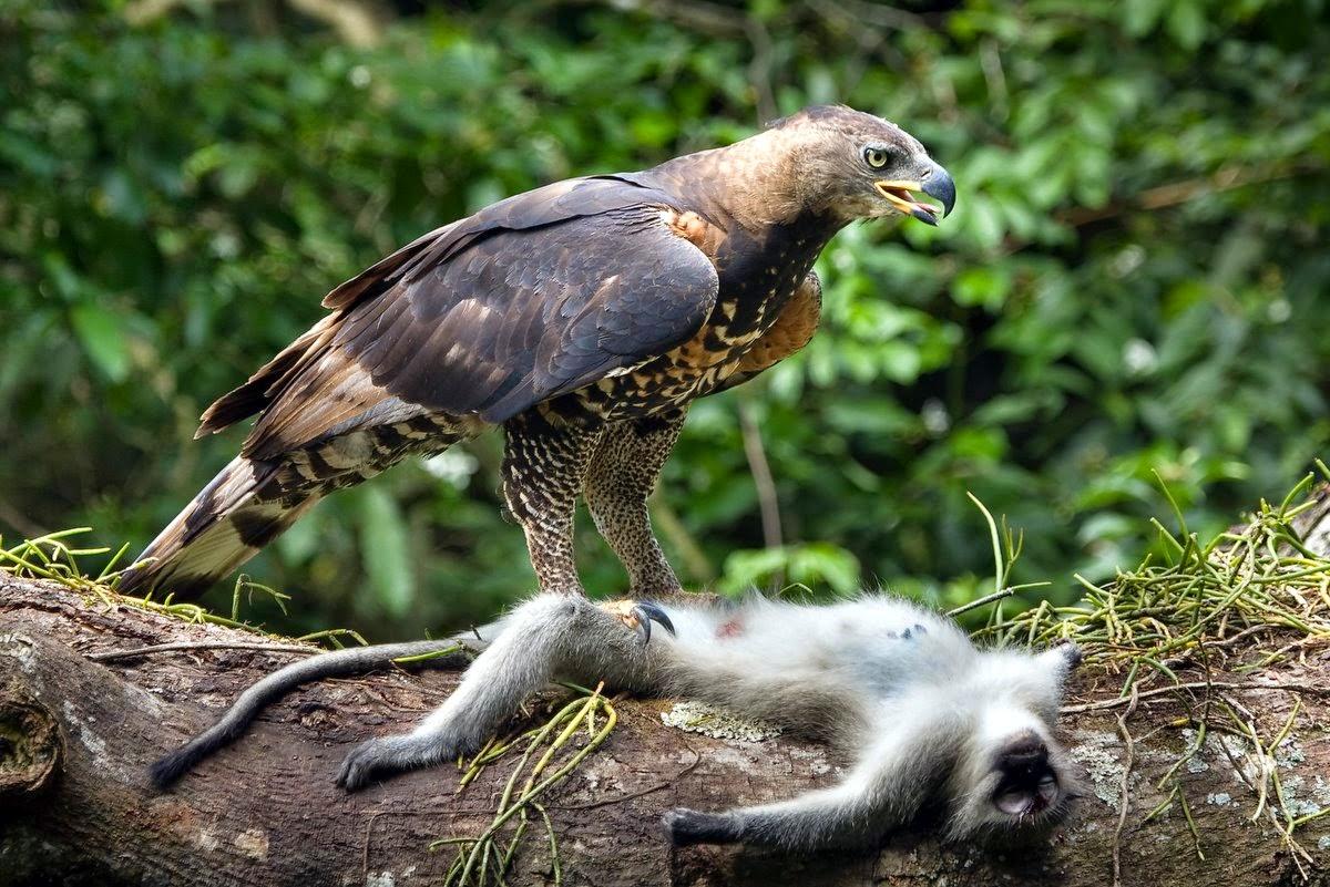 Águila Coronada con un Simio Capturado