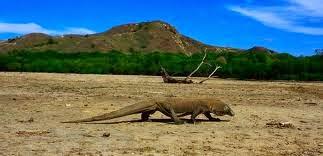 Keunikan Hewan Komodo dan Pulau Komodo