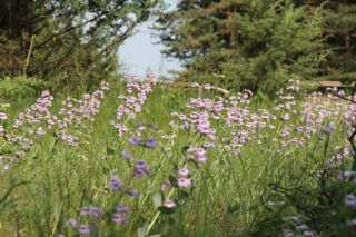 photo of field of beardtongue