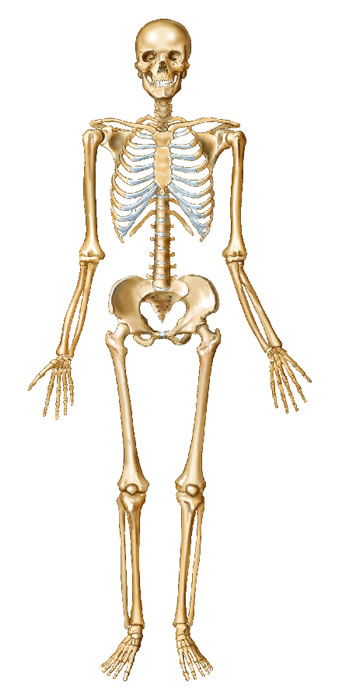 Skeleton And Bones Human Body Part Seriessuper Cool