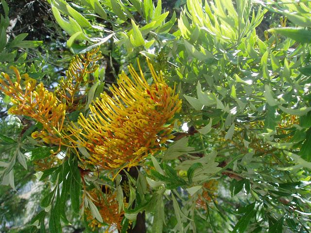Rbol de fuego grevillea robusta plantas riomoros for Arbol de fuego jardin