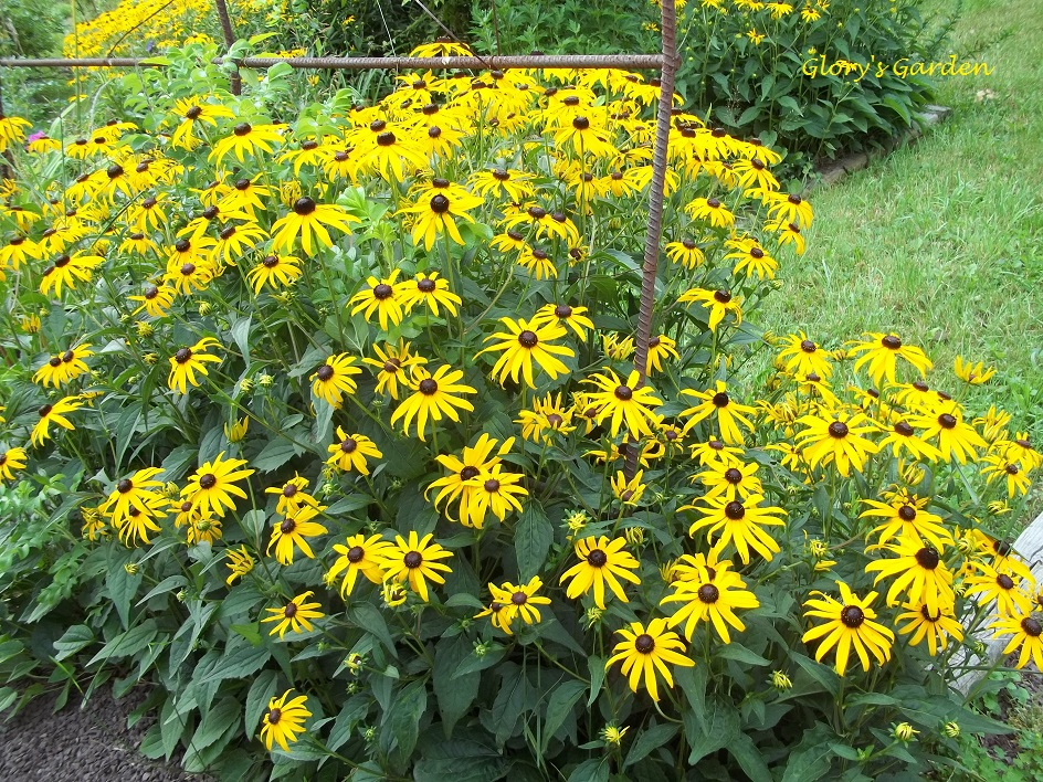 Glory 39 S Garden Rudbeckia Vs Black Eyed Susan