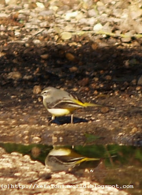 Yellow Wagtail at Trapezaki, Kefalonia