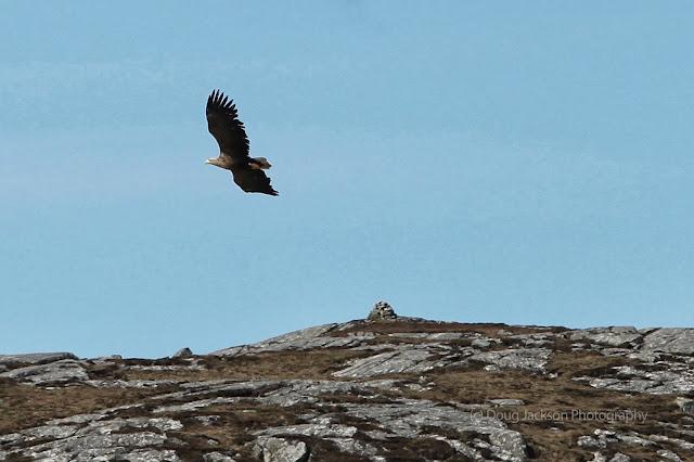 Sea Eagle on Harris
