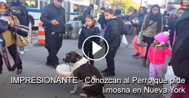 VIDEO IMPRESIONANTE - Conozcan a Boby el perro que pide limosna en Nueva York