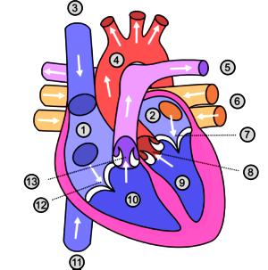 Dibujo del corazón del cuerpo humano enumerado para indicar sus partes