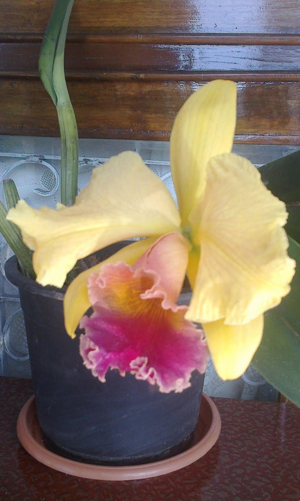 Catelia Orchid