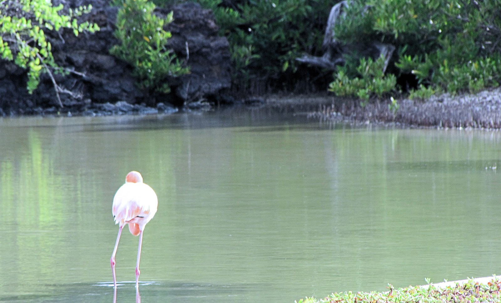 Flamingo in Lagoon Bachas Beach