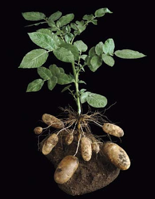 potatoes plant